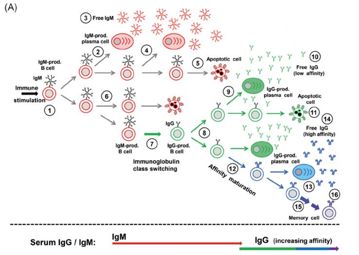 Авидность антител к SARS-CoV2